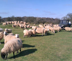A flock of our sheep