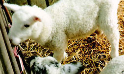 Lambing February to April