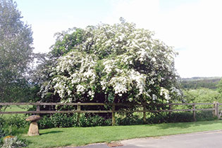 sheepscombe-byre-may-tree-blossom-self-catering-snowshill-broadway-worcestershire.jpg