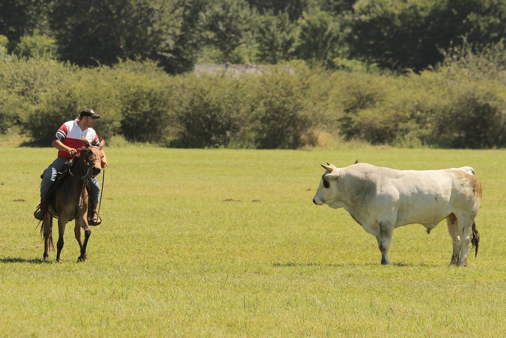 Mule vs bull - Mulo contro toro