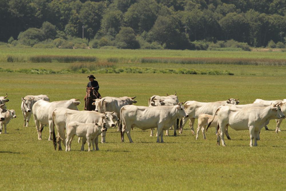 The cattle - La mandria
