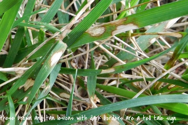3.-Currently-brown-patch-is-mostly-in-a-leaf-spotting-phase-where-lesions-are-variously-shaped-tan-or-brown-with-a-dark-brown-band-on-the-border.-600x400.jpg