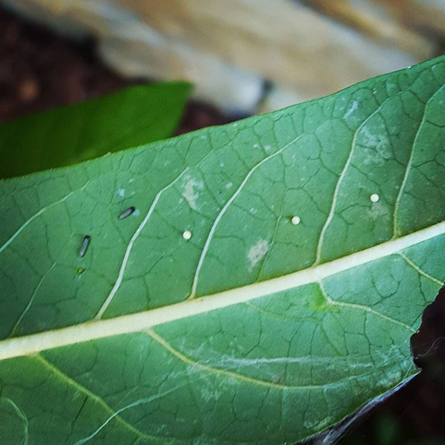 The babies are back again for round 2! 2 just hatched and 3 eggs.  #monarchcaterpillar #monarchcaterpillars #monarchbutterfly  #monarchwaystation #turpinfarms  #savethemonarchs #savethepollinators  #plantnative #plantforpollinators #cincinnati #ohio