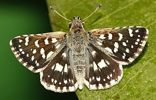 indian skipper (2).jpg