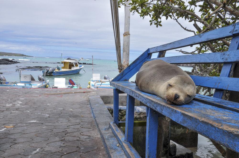 Santa Cruz Galapagos day 1 seal edited.jpg