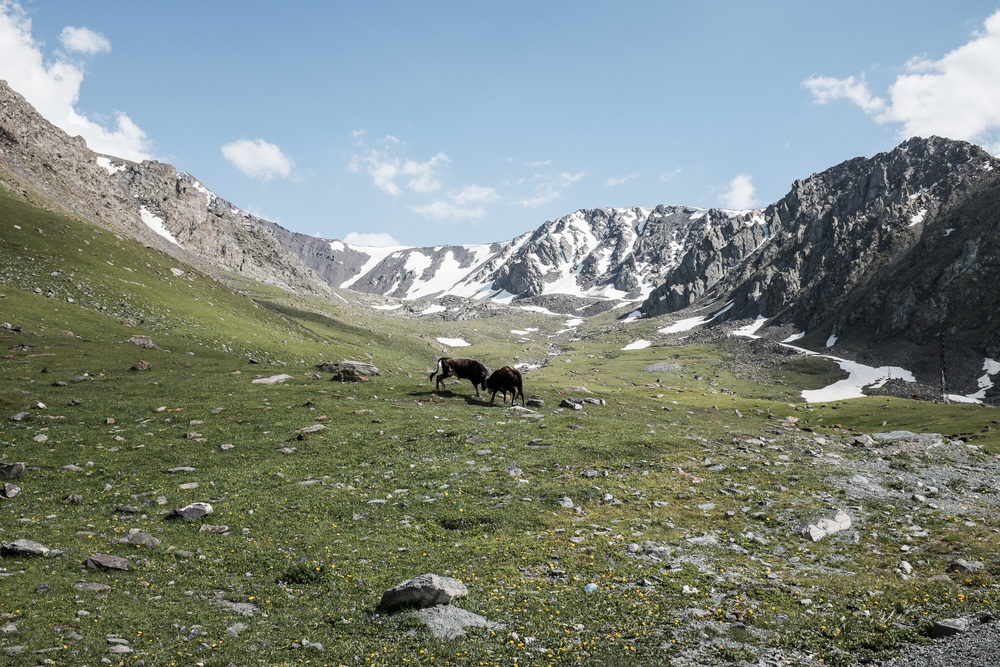 Bulls fighting near the Too-Ashuu pass (3180m) on the way to Talas.