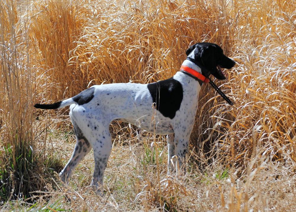 Gunner,Bryce Mann's Gun Dogs & Guide Service