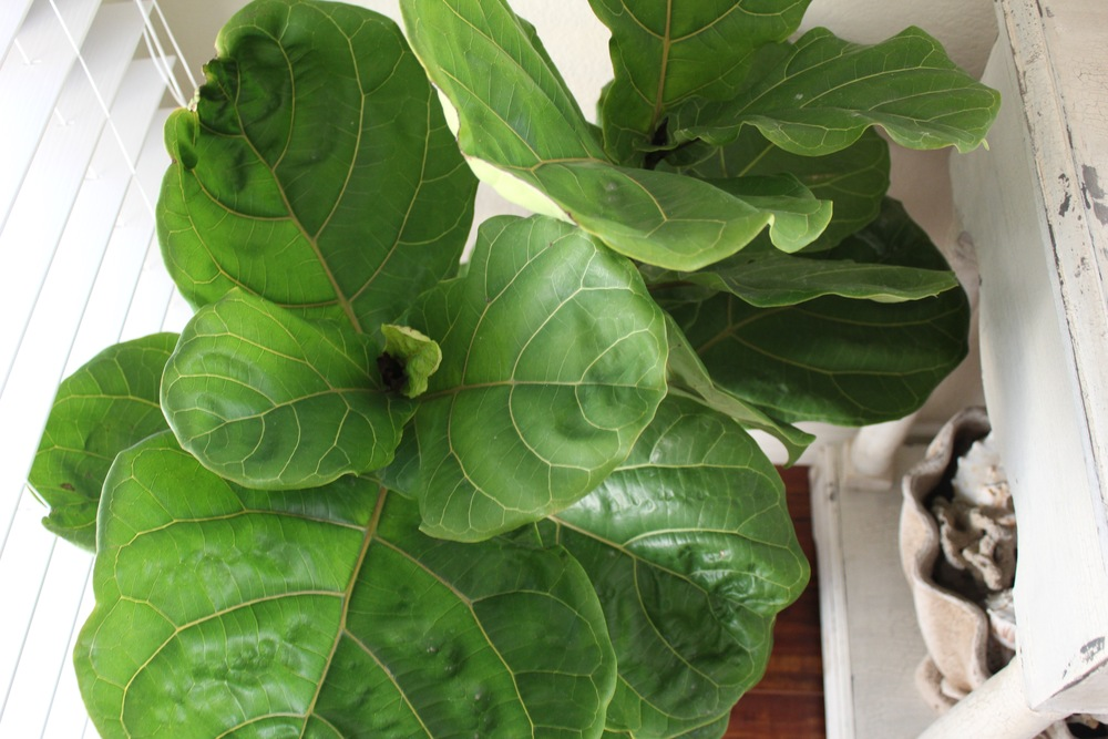 Fiddle Leaf Fig Tree | Indoor Plants | www.foundandkept.com