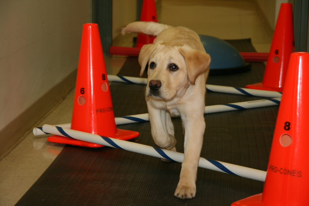 Physiotherapy for puppy Tucker.