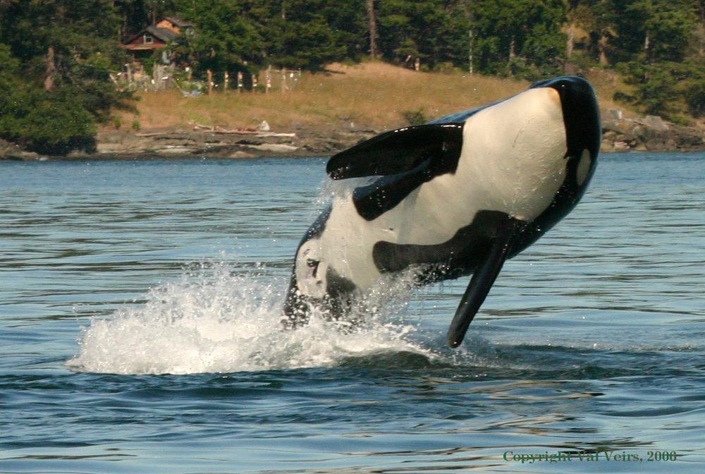 Orca breeching  .
