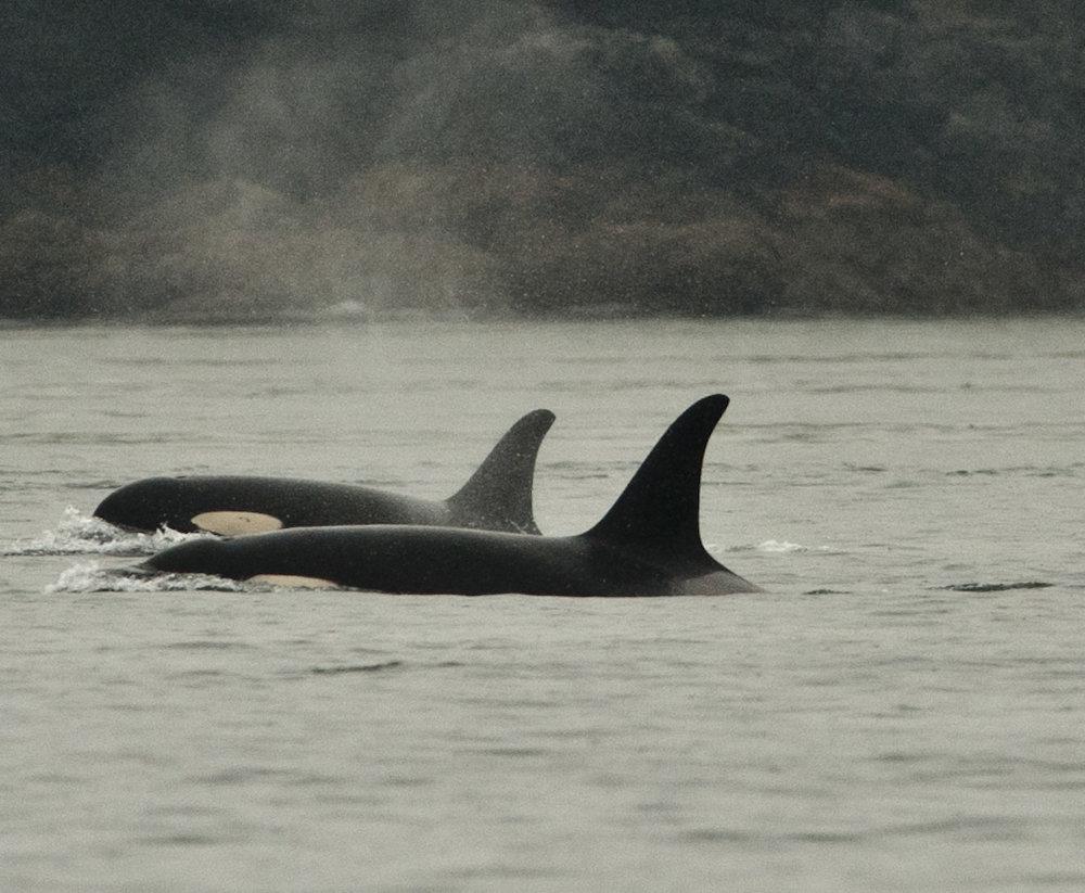 Orcas 5-15-11005.JPG