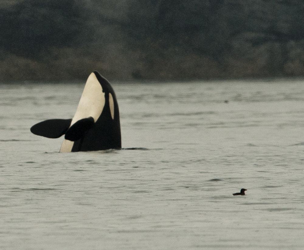 Orcas 5-15-11008.JPG