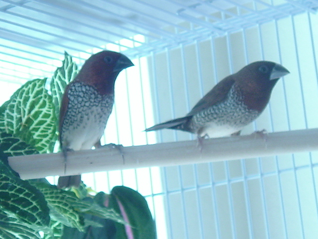 spice finches.jpg