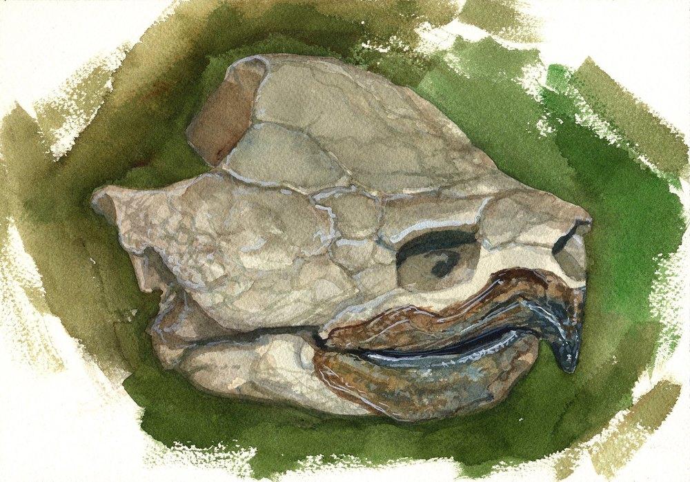 Snapper Skull