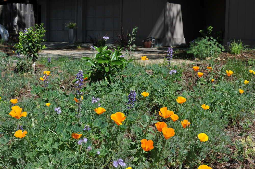 Restoration Landscaping replaced this Sacramento-area lawn with a verdant mix of native wildflowers.