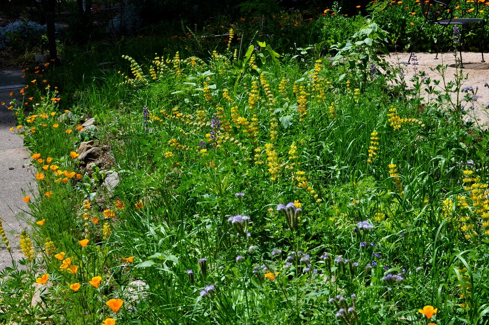 Turf removal can add so many colors and textures to your front yard. These wildflowers don't need any water, provide habitat and food for bees, butterflies and birds, and don't need any fertilizer, mowing or pesticides.