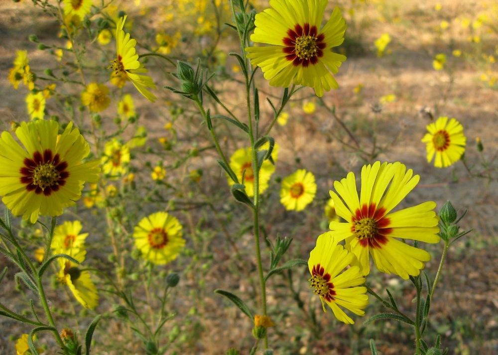 Late summer, early morning. Madia elegans, a species of tarweed, produces beautiful flowers that are conspicuous in the early morning and late evening during the summer, but they close during the day. You can see that besides tarweed, everything in the background is pretty brown. For native birds and insects, this means that tarweed is a critical food source during the hot, dry CA summer.