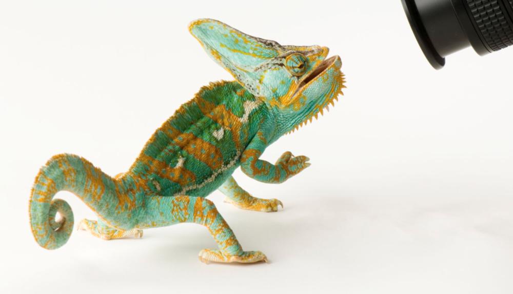 Veiled chameleon. ©2017 Joel Sartore
