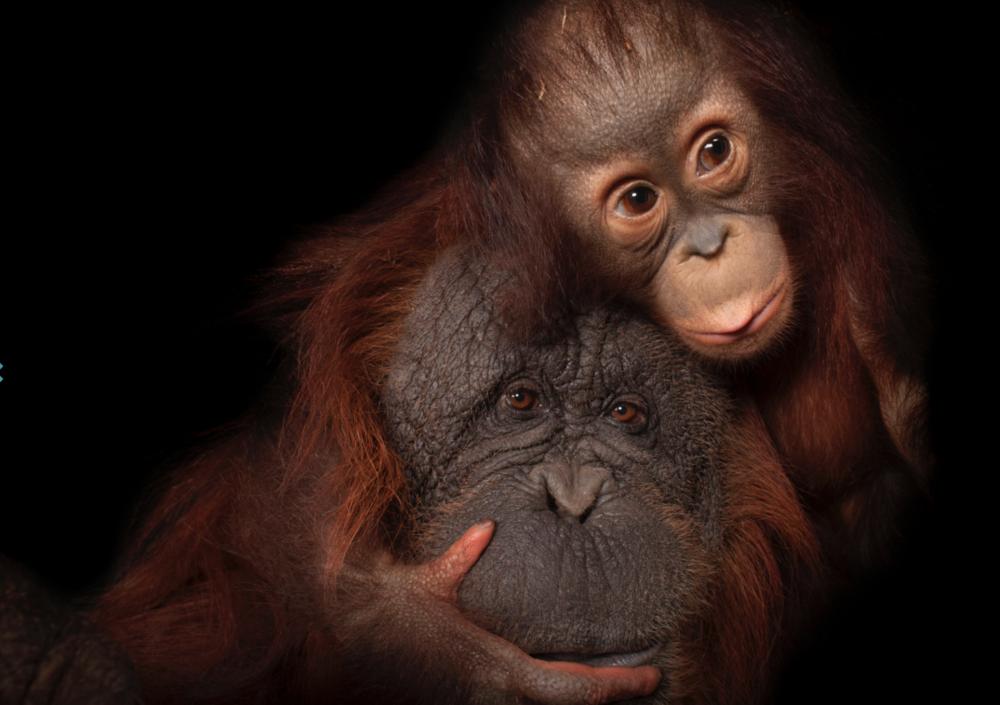Bornean orangutan. ©2017 Joel Sartore