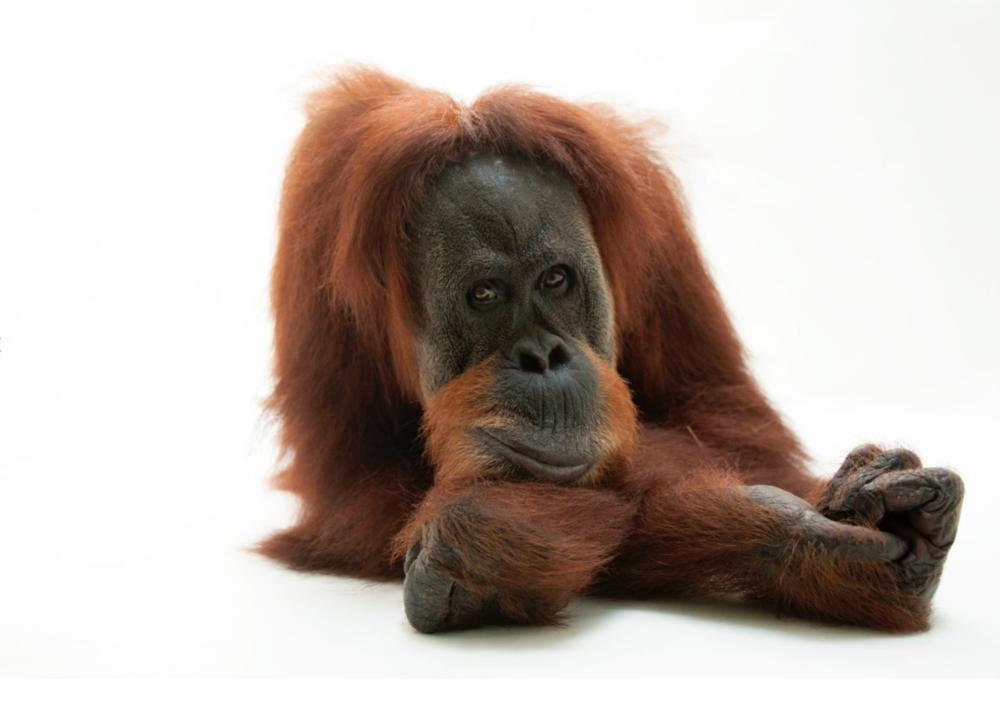 Sumatran ornagutan ©2017 Joel Sartore