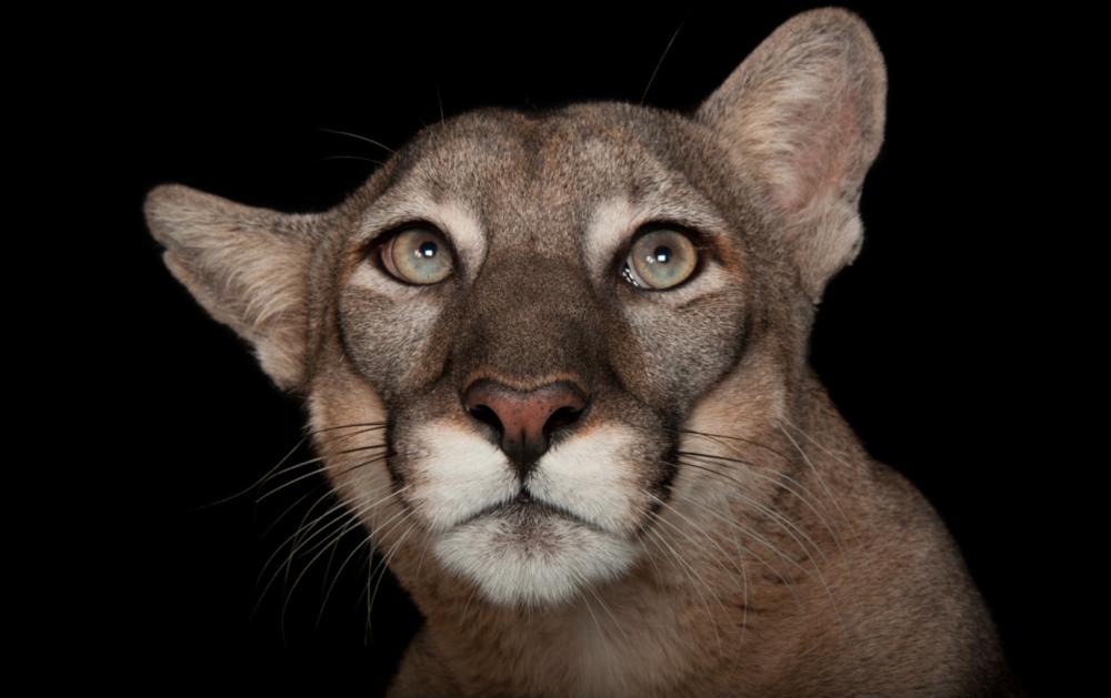 Florida panther. ©2017 Joel Sartore