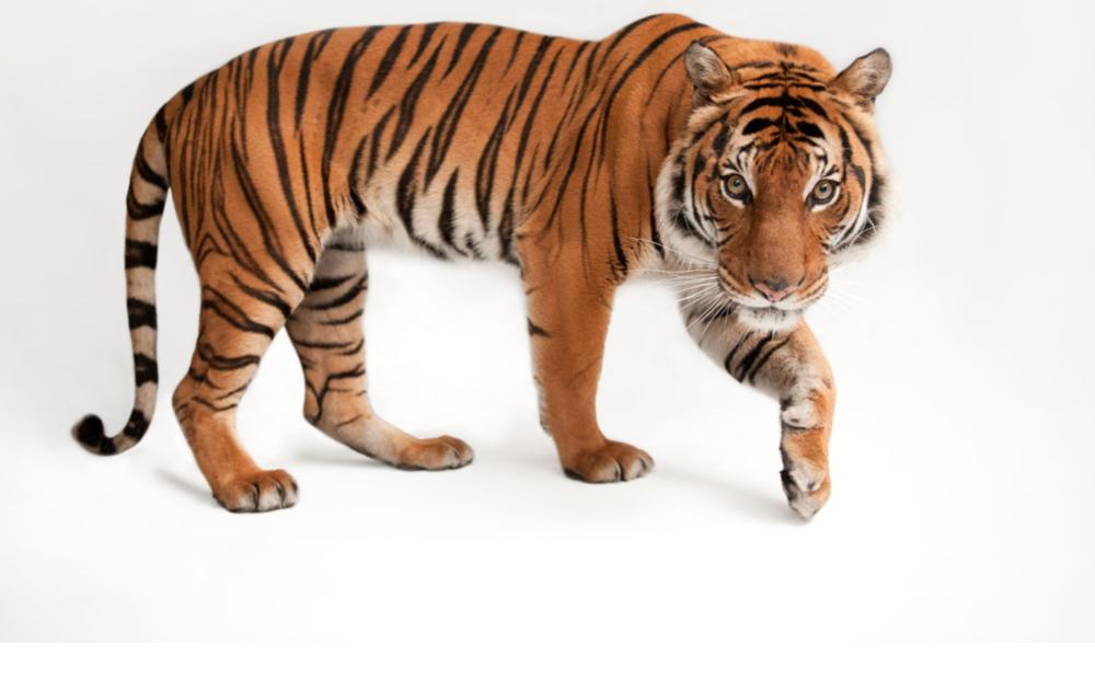 Malayan tiger ©2017 Joel Sartore