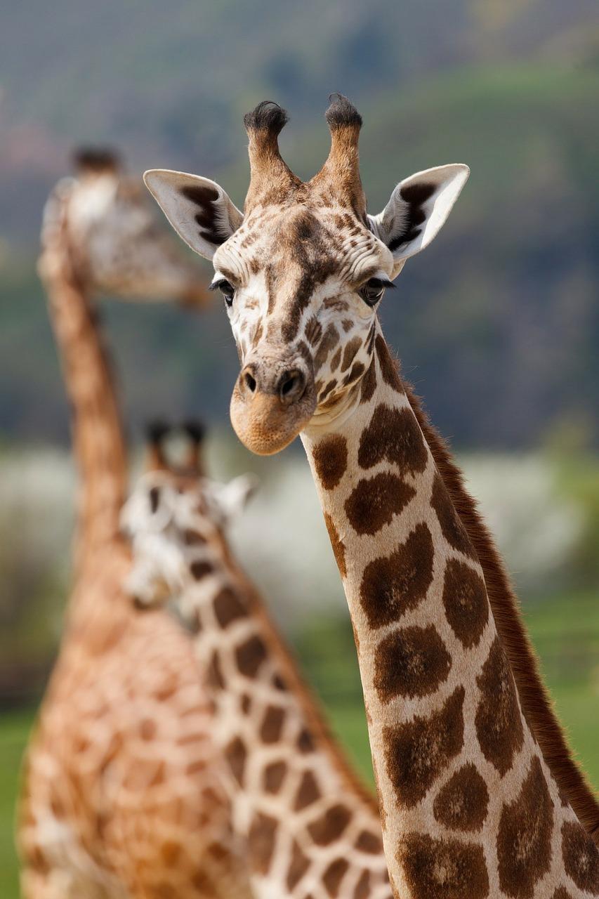 giraffe pixabay inset.jpg