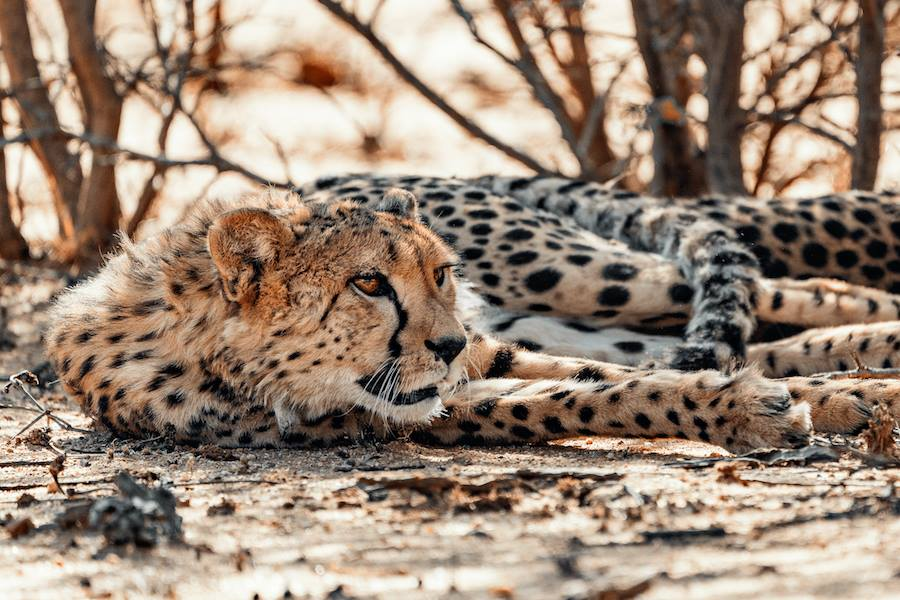©AfriCat Foundation/Namibia