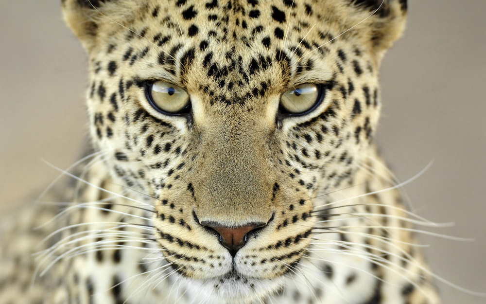 cheetahs hashtag on Twitter