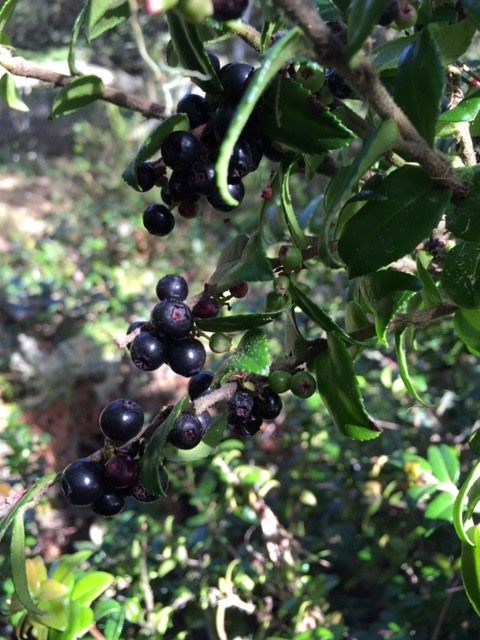 California Evergreen Huckleberries