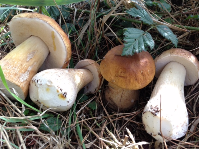 Coastal King Boletes