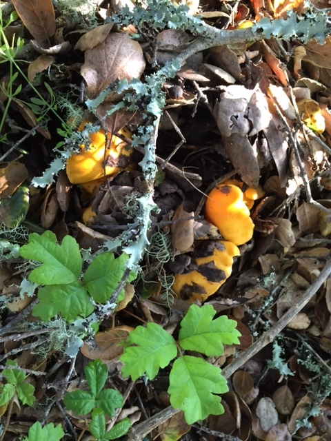 Chanterelles (Californicus)