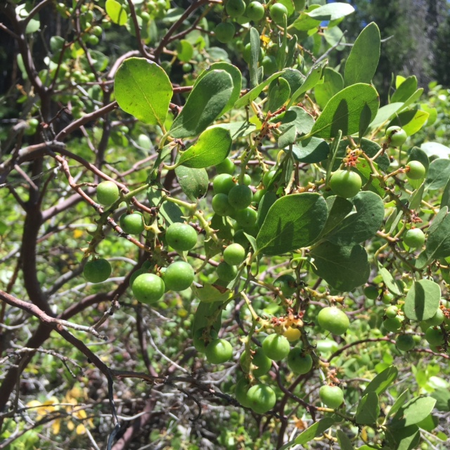 Green Manzanita Berries