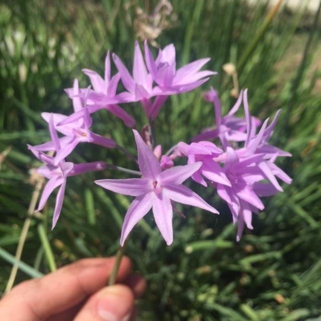 Society Garlic Flowers