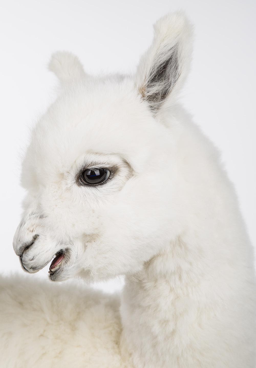 Lama's_002.jpg