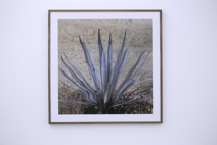 Anri Sala,  Untitled (cactus_II) , 2011 c-print on dibond, 116 x 166 cm