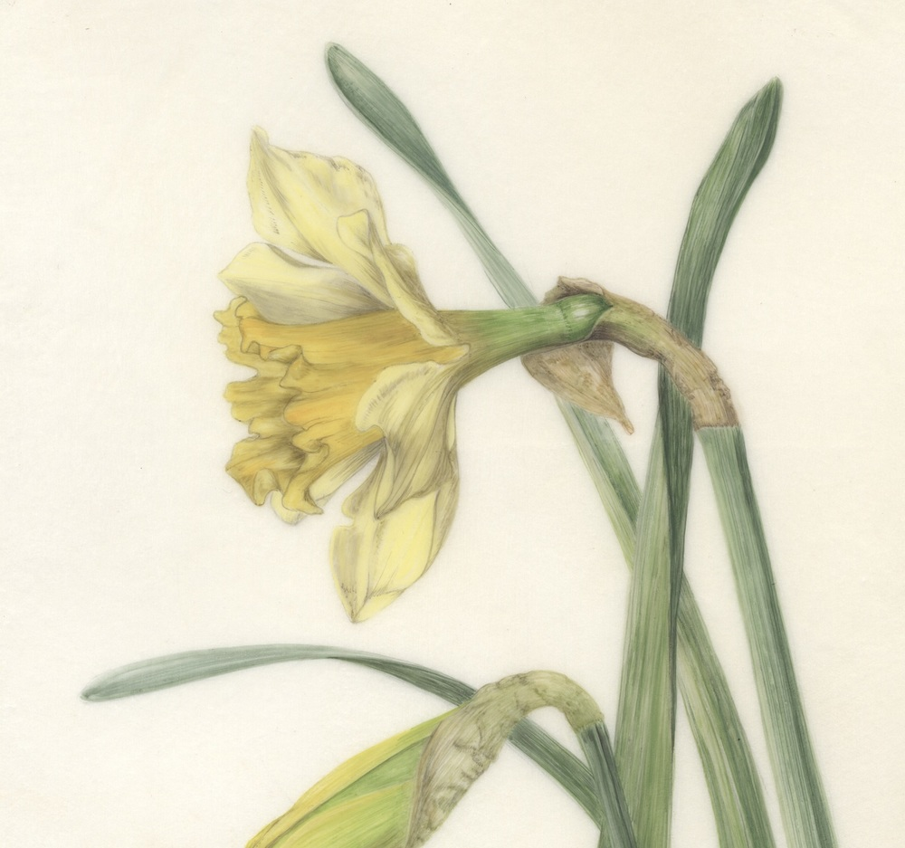 Daffodil and Bud  watercolour on kelmscott vellum  12 x17 cm  £360 (framed)  .