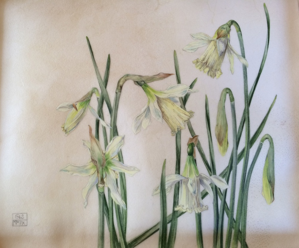 WP Milner (Narcissus)  watercolour on calfskin  SOLD