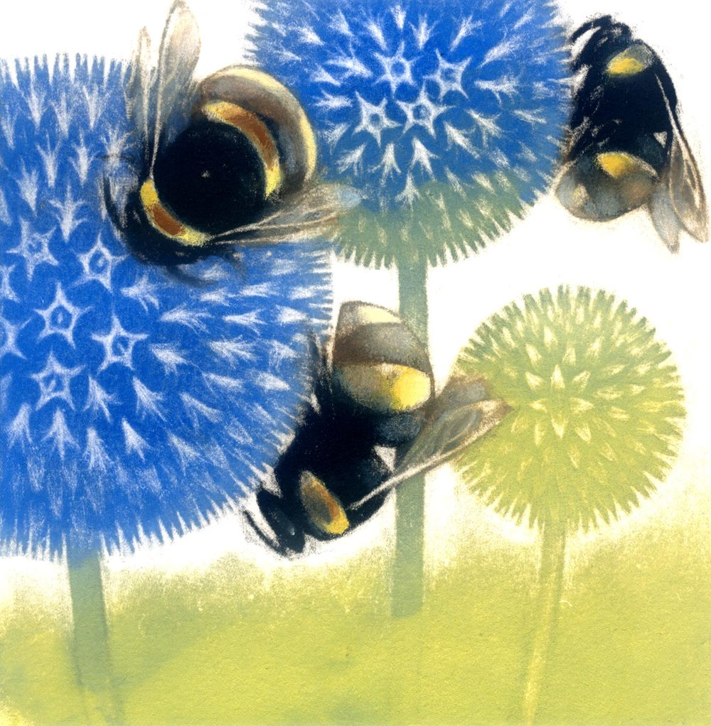 Echinops In Flower  coloured mezzotint  25 x 25 cm  £135