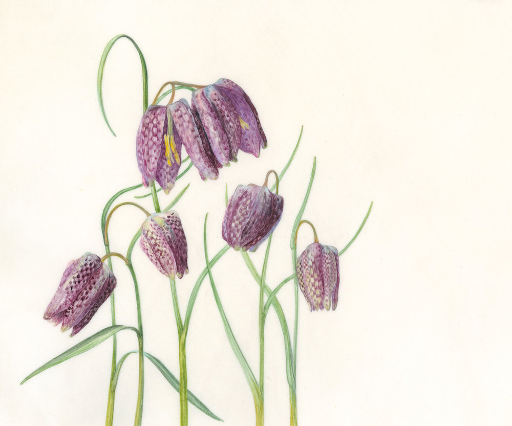 Fritillaria Meleagris  Watercolour on natural calfskin vellum  SOLD