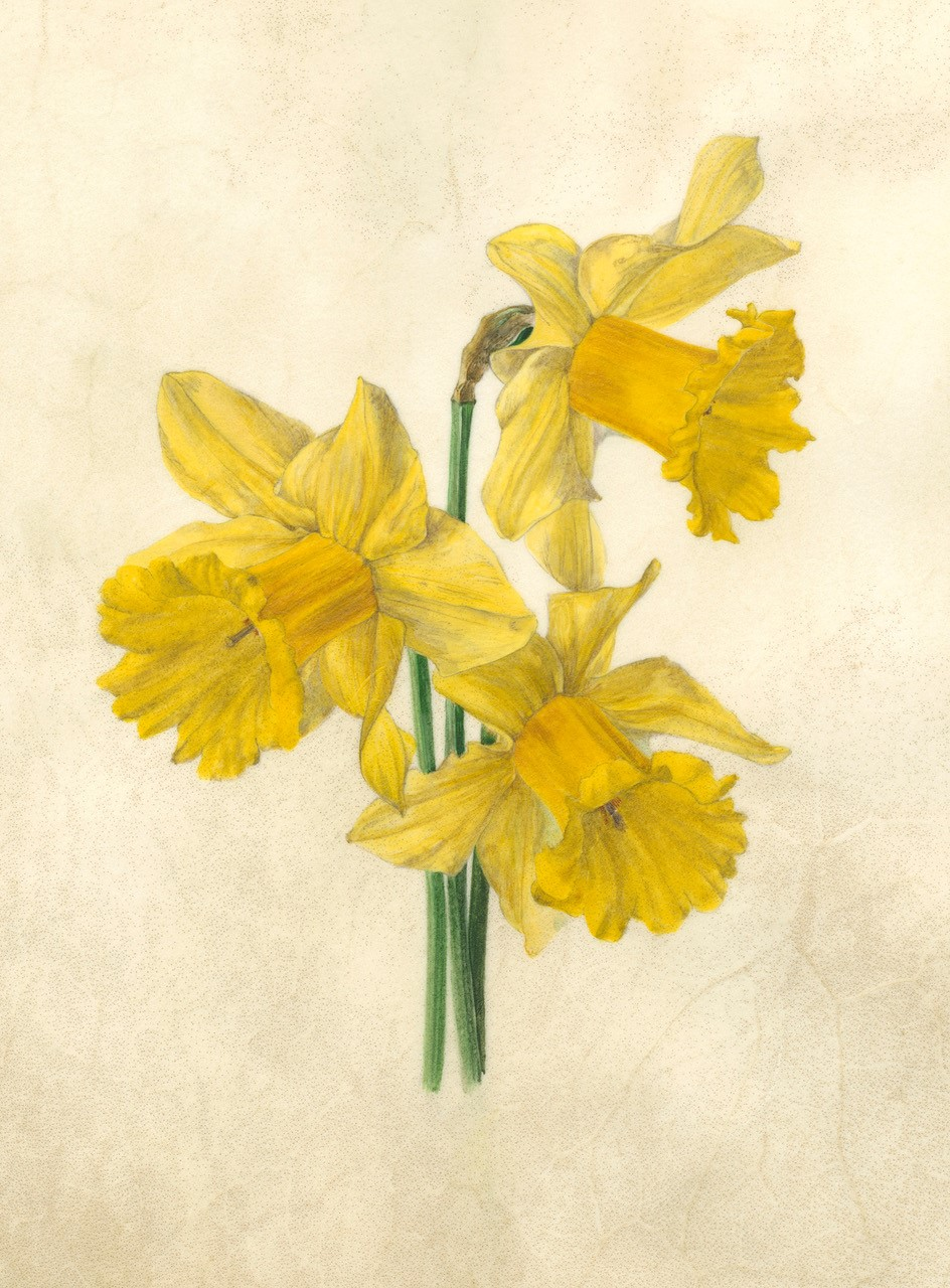 Daffodil trio,  watercolour on natural calfskin  image size: 16x20cm  SOLD