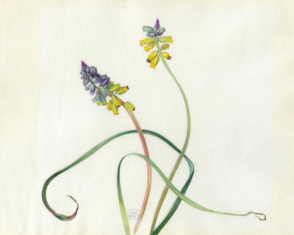 Muscari Macrocarpum  watercolour on vellum  24 x 19 cm image  47 x 42 cm framed  £660