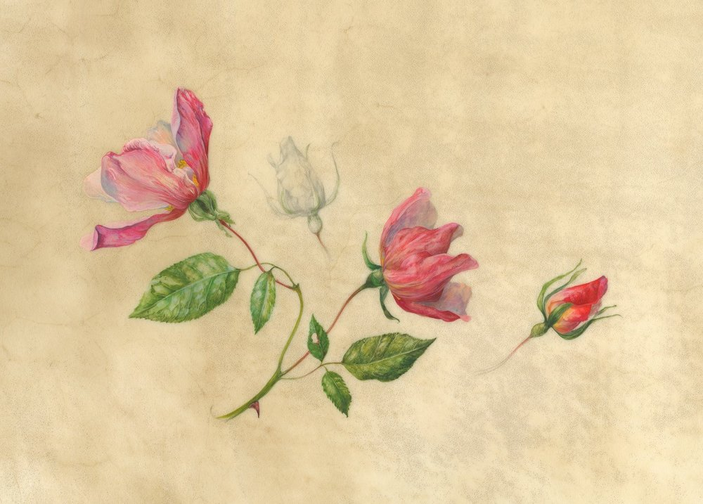 Rosa Mutabilis  watercolour on vellum  50 x 41 cm framed  sold