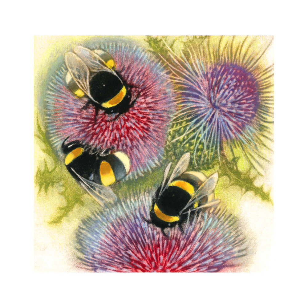Bumblebees on Thistles   Hand Coloured Mezzotint  £110 framed