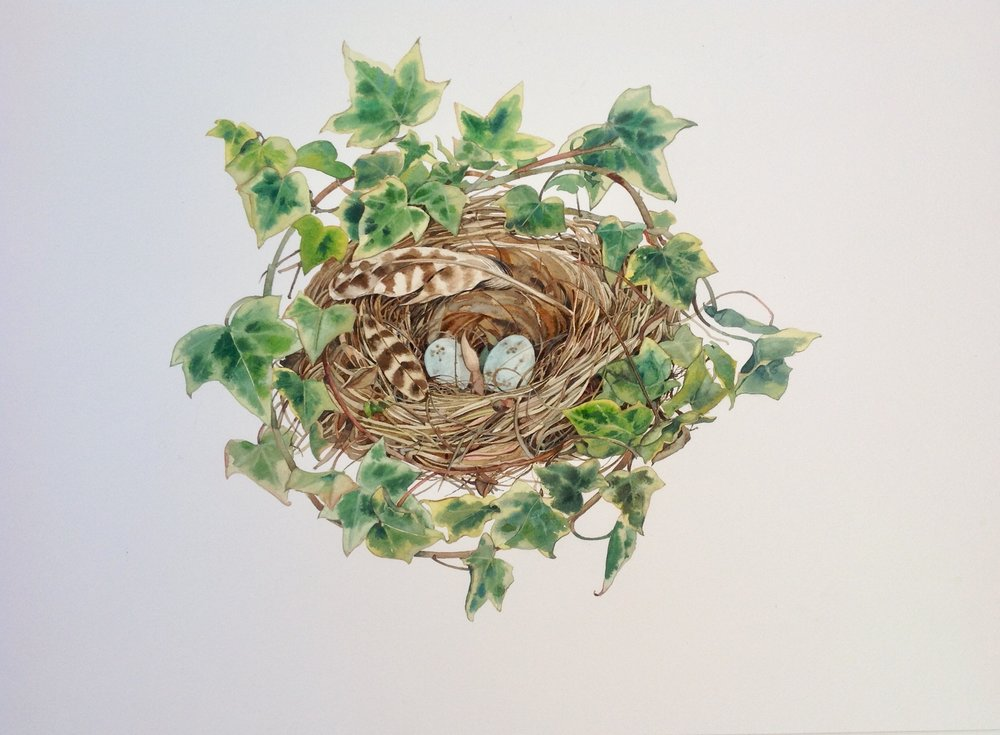 Birds Nest with Ivy  watercolour  54 x 54cm  £495 mounted