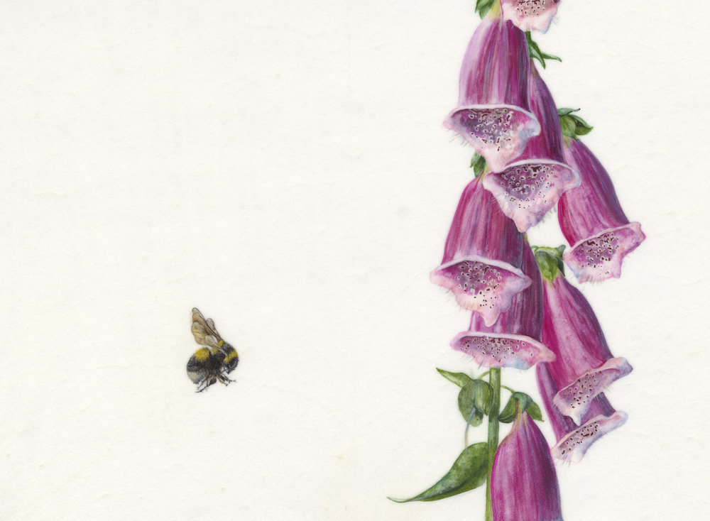 Digitalis Purpurea et Bombus Hortorum  watercolour on vellum  22 x 17 cm image  39 x 45 cm framed  SOLD