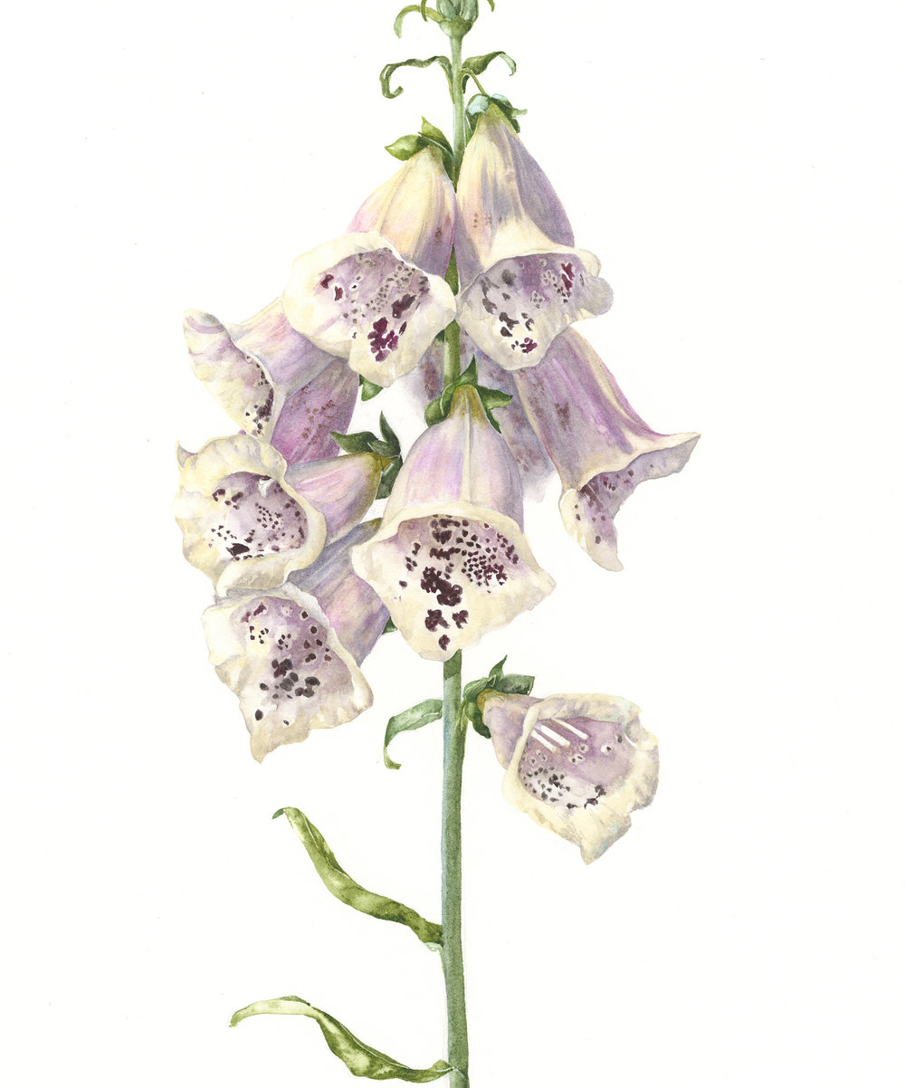 Foxglove 'Excelsior' Sherbet Lemon  watercolour on paper  18 x 22 cm image  41 x 45 cm framed  £890