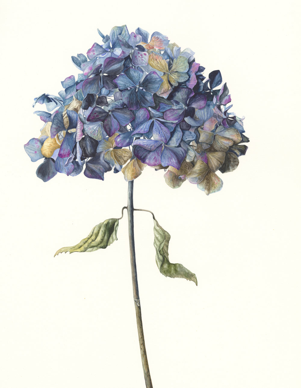 Hydrangea Macrophylla 'Enziandom'  watercolour on paper  30 x 43 cm image  53 x 68 cm framed  £1800