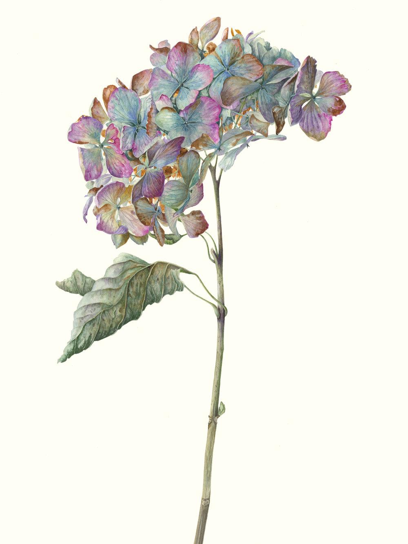 Hydrangea Macrophylla 'Mme Emile Mouillere'  watercolour on paper  30 x 43 cm image  53 x 68 cm framed  £1800
