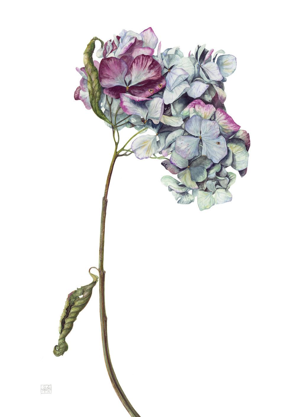 Hydrangea Macrophylla 'Renate Steiniger'  watercolour on paper  30 x 43 cm image  53 x 68 cm framed  £1800